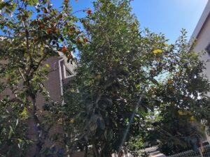綺麗な秋晴れとお庭の果物たち♪(上野)