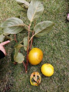 柿と柚子(佐藤)